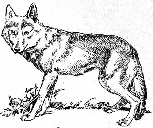 Рис 4 волк по внешнему виду волк сильно