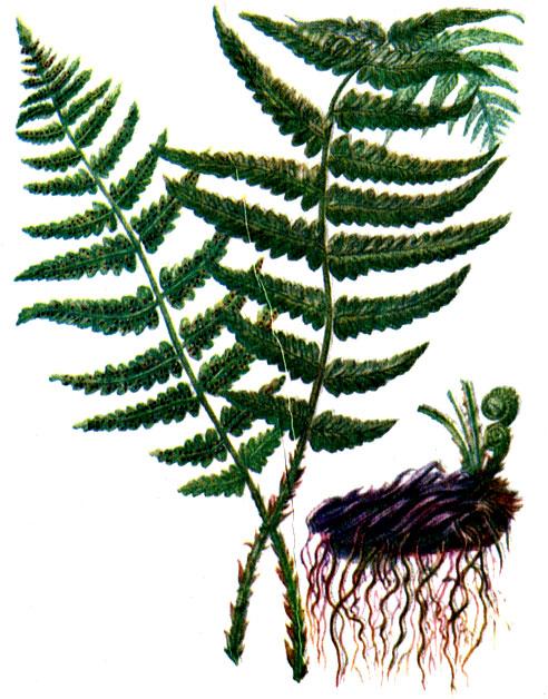 Щитовник мужской Dryopteris