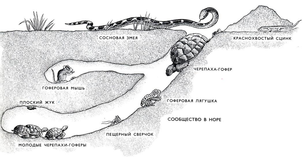 прохладная нора черепахи