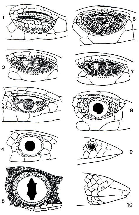 Наружное строение глаз у
