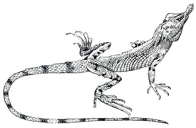 Рис 141 шишконосая агама caratophora tennentii