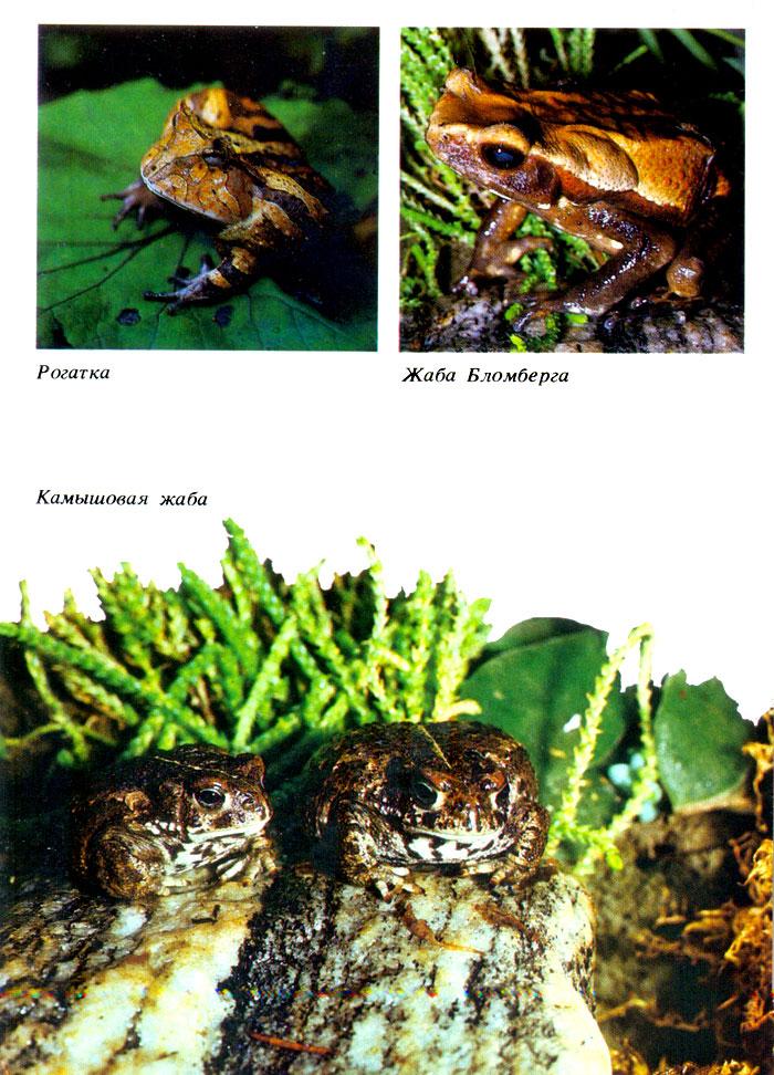 Жаба бломберга - вторая из самых крупных - ага источник
